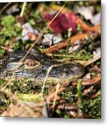 Juvenile American Alligator Metal Print