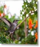 Juvenile Anna's Hummingbird Warm-up Metal Print