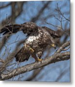 Juvenile Bald Eagle With A Fish Drb0218 Metal Print