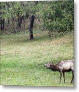 Juvenile Bull Elk Grazing 2 Metal Print