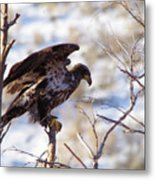 Juvenile Eagle Taking Off   Metal Print