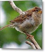 Juvenile House Sparrow Metal Print