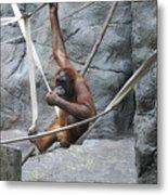 Juvenile Orangutan Metal Print