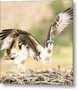 Juvenile Osprey Testing Their Wings Metal Print