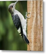 Juvenile Red Headed Woodpecker Metal Print