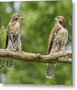 Juvenile Red-tailed Hawks Eyeing Each Other Metal Print