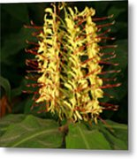 Kahili Ginger Metal Print