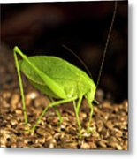 Katydid Close Up Bug Metal Print