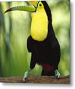 Keel Billed Toucan Calling Metal Print