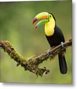 Keel Billed Toucan Perched On A Branch In The Rain Forest Metal Print