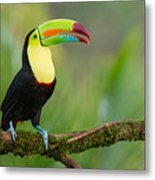 Keel Billed Toucan Perched On A Branch In The Rainforest Metal Print