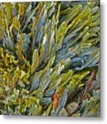 Kelp On A Rock Metal Print