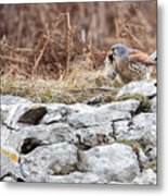 Kestrel With Prey Metal Print