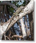 Key West Iguana In Mangrove 3 Metal Print