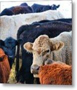 Kibler Valley Cows Metal Print