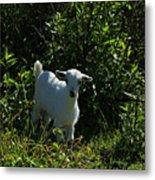 Kid Goat On A Farm Metal Print