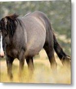 Kiger Stallion Metal Print