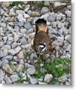 Kildeer And Eggs Metal Print by Douglas Barnett