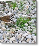 Killdeer 1 Metal Print by Douglas Barnett