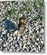 Killdeer 2 Metal Print