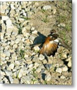 Killdeer Broken Wing Act Metal Print by Douglas Barnett