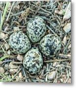 Killdeer Eggs Metal Print