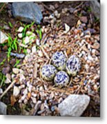 Killdeer Nest Metal Print