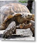 King Of The Galapagos Metal Print