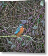 Kingfisher. Metal Print
