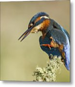 Kingfisher Itch Metal Print