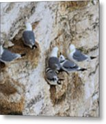 Kittiwakes Tend Their Chicks At Rspb Bempton Cliffs Metal Print