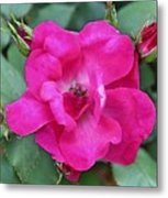 Knockout Rose Surrounded By Buds Metal Print