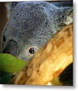 Koala Bear  Metal Print by Anthony Jones