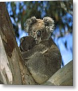 Koala Phascolarctos Cinereus Mother Metal Print
