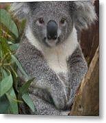Koala Phascolarctos Cinereus Metal Print by Zssd