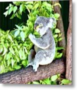 Koalas Love Their Eucalyptus Metal Print