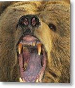Kodiak Bear Ursus Arctos Middendorffi Metal Print
