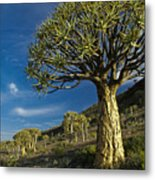 Kokerboom Metal Print