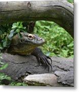 Komodo Dragon Creeping Through Two Fallen Logs Metal Print