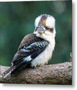 Kookaburra Australian Bird Metal Print