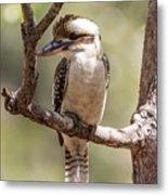 Kookaburra Sits In The Ol Gum Tree Metal Print