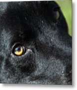 Lab Mix Metal Print