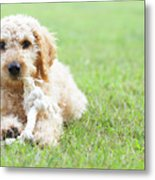 Labradoodle Puppy In Grass Metal Print