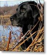 Labrador Retriever Waiting In Blind Metal Print