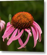 Lacewing On Echinacea Blossom Metal Print