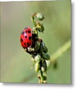 Lady Beetle Metal Print