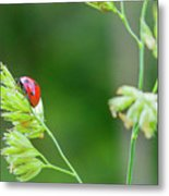 Lady Bird On A Herb Straw Close Up Metal Print