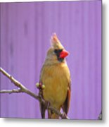 Rare Yellow Cardinal On A Cherry Branch Metal Print