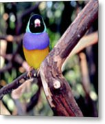 Lady Gouldian Finch Metal Print