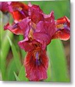 Lady In Red Iris Metal Print